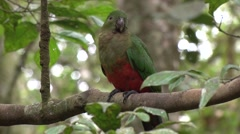 King Parrot male sits on branch in rainforest looking around close up Stock Footage