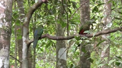 King Parrot males sits on branch in rainforest looking around Stock Footage