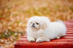White Pekingese Pekinese Peke Whelp Puppy Dog Sitting On Wooden Bench Stock Photos