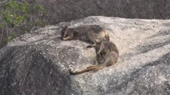 Mareeba Rock Wallabies cleaning fur and laying on big boulder in the morning Stock Footage