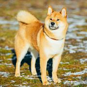 Beautiful Red Shiba Inu Puppy Dog Staying Outdoor In Spring Stock Photos