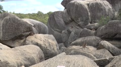 Mareeba Rock Wallabies sitting spread out on boulders and cleaning fur Stock Footage