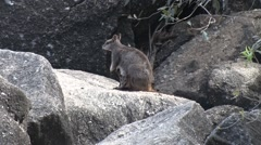 Mareeba Rock Wallaby female sits on boulder with Joey in pouch cleaning Stock Footage