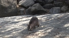 Mareeba Rock Wallaby female with joey in pouch moving on big boulder Stock Footage