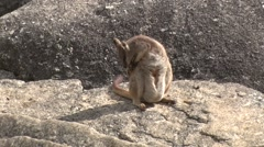 Mareeba Rock Wallaby sit licking and scratching fur and move on boulder Stock Footage