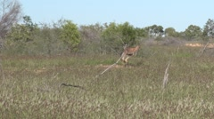 Red Kangaroo standing in field looking in bright afternoon sun and jumps away Stock Footage