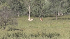 Red Kangaroos standing in filed under bright afternoon sun and jumps away Stock Footage