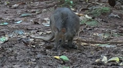Red-legged Pademelon foraging on rainforrest floor early evening and chewing Stock Footage