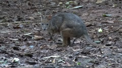 Red-legged Pademelon sitting on rainforrest floor foarging and chewing on le Stock Footage