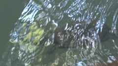 Saw shelled Turtle swimming under water Stock Footage