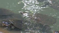 Saw shelled Turtles swimming by the edge of a stone and sticking up head Stock Footage