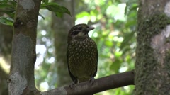 Spotted Catbird sits on branch looking around in the rainforest morning sun Stock Footage
