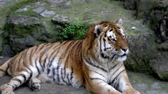 Portrait of a bengal tiger in zoo Stock Footage