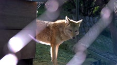 Gray Wolf walking in the zoo Stock Footage