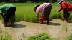 Farmer prepare rice for plant Stock Footage
