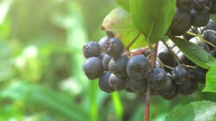 Aronia melanocarpa ripe berries Stock Footage