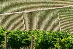 Vineyard in Croatia at the Adriatic coast Stock Photos