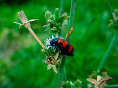 Red beetle with black dots sitting in a blue flower Stock Photos
