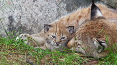 Eurasian lynx mother and cub laying tight together cub raise walk away Stock Footage