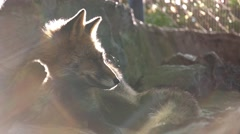 Red fox lying on sun in the zoo Stock Footage
