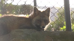 Sunny fox in the zoo Stock Footage