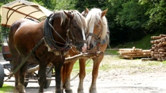 Horses in harness. Working horses. Working animals. - stock footage