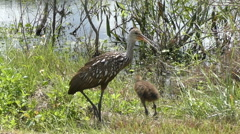 Adult and baby limpkins Stock Footage