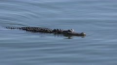 American Alligator  in the lake Stock Footage