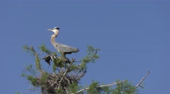 Adult and Immature Great Blue Herons Stock Footage
