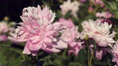 Pink peony flowers Stock Footage