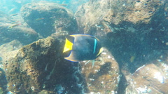Underwater shot of a king angelfish at isla santa fe Stock Footage