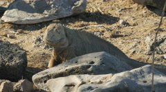 Close up of a large land iguana on isla santa fe in the galapagos Stock Footage