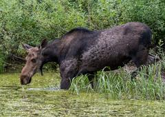 Female Moose Drinks from Algae Covered Water Stock Photos