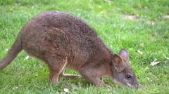 Baby Kangaroo, Australia Stock Footage