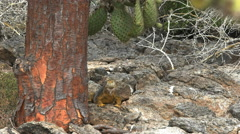 Slow zoom in shot of  land iguana and a cactus tree in the galapagos Stock Footage