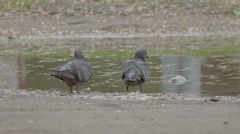 Pigeons bathe in a pool of slow motion video Arkistovideo