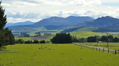 New Zealand landscape with sheep grazing Stock Footage