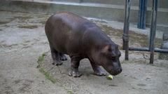 A baby hippo eating in zoo Stock Footage