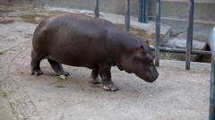 A hippo eating in zoo cage Stock Footage