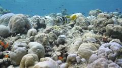 Black saddled grouper Plectropomus laevis Stock Footage