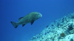 Giant sweetlips in clear water Stock Footage