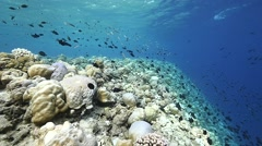 Tropical reef sow motion Stock Footage