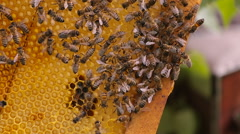 CU bees swarmed in hive honeycomb. Messenger bee does waggle dance to convey to Stock Footage
