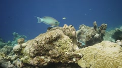 Steephead parrotfish graze Stock Footage