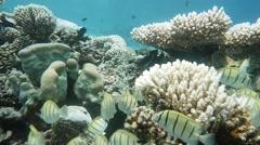 Surgeonfish reef pan Stock Footage