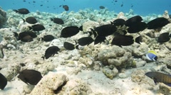 Surgeonfish move over reef Stock Footage