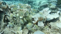 Surgeonfish grazing bleached reef Stock Footage