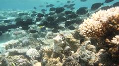 Coral reef herbivores Stock Footage