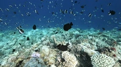Pyramid butterflyfish over coral Stock Footage