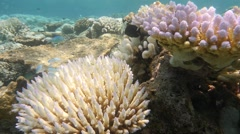 Flourescing and bleached coral Stock Footage